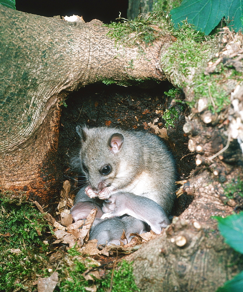 Edible Dormice, female with youngs in nest / (Glis glis)