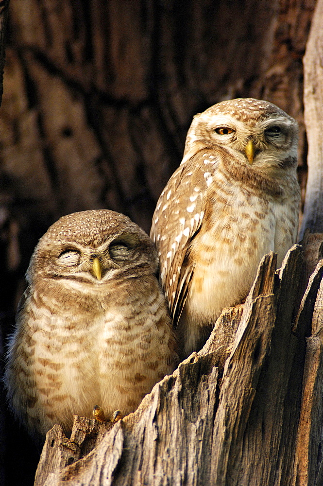 Spotted Owlets, pair, Keoladeo Ghana national park, Rajasthan, India / (Athene brama)