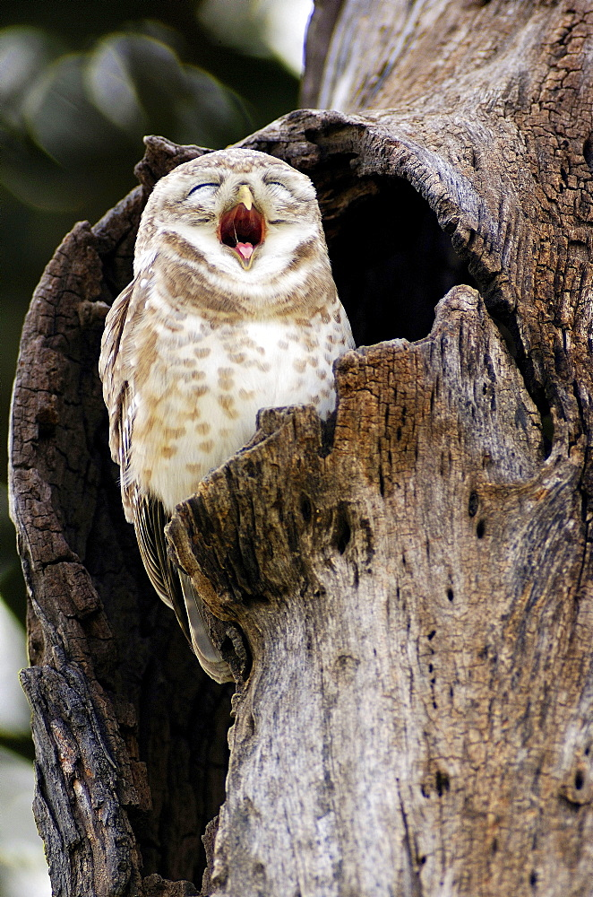 Spotted Owlet, Keoladeo Ghana national park, Rajasthan, India / (Athene brama)