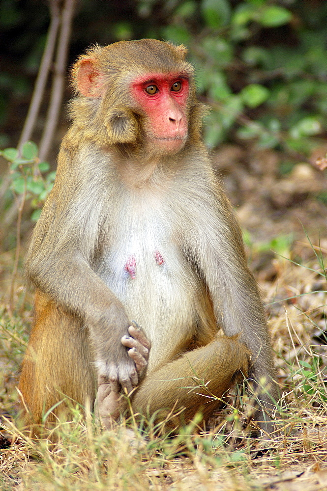 Rhesus Monkey, female, Keoladeo Ghana national park, Rajasthan, India / (Macaca mulatta) / Rhesus Macaque