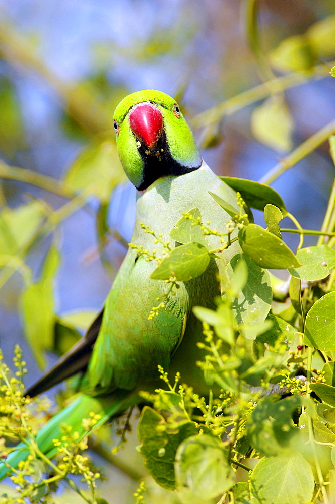 Ring-necked Parakeet, male, Keoladeo Ghana national park, Rajasthan, India / (Psittacula krameri)