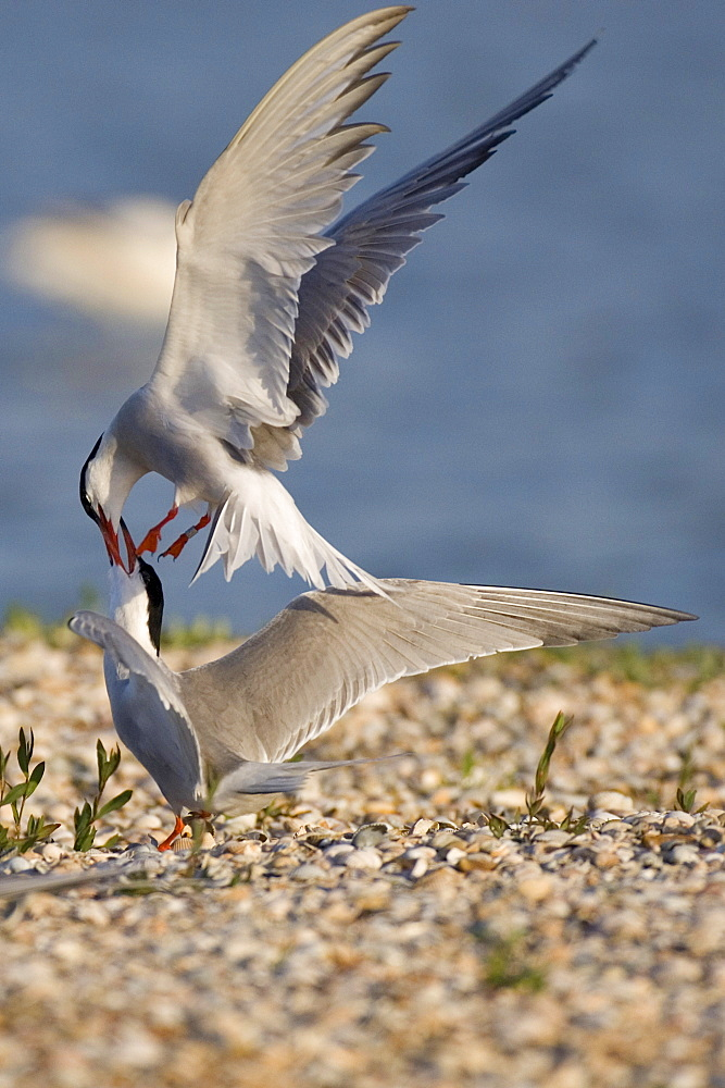 Common Terns, quarreling, Texel, Netherlands / (Sterna hirundo)