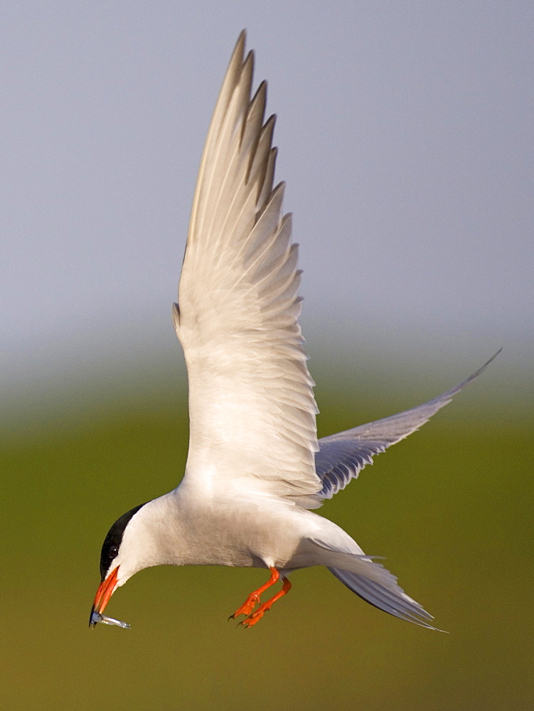Common Tern with fish, Texel, Netherlands / (Sterna hirundo)