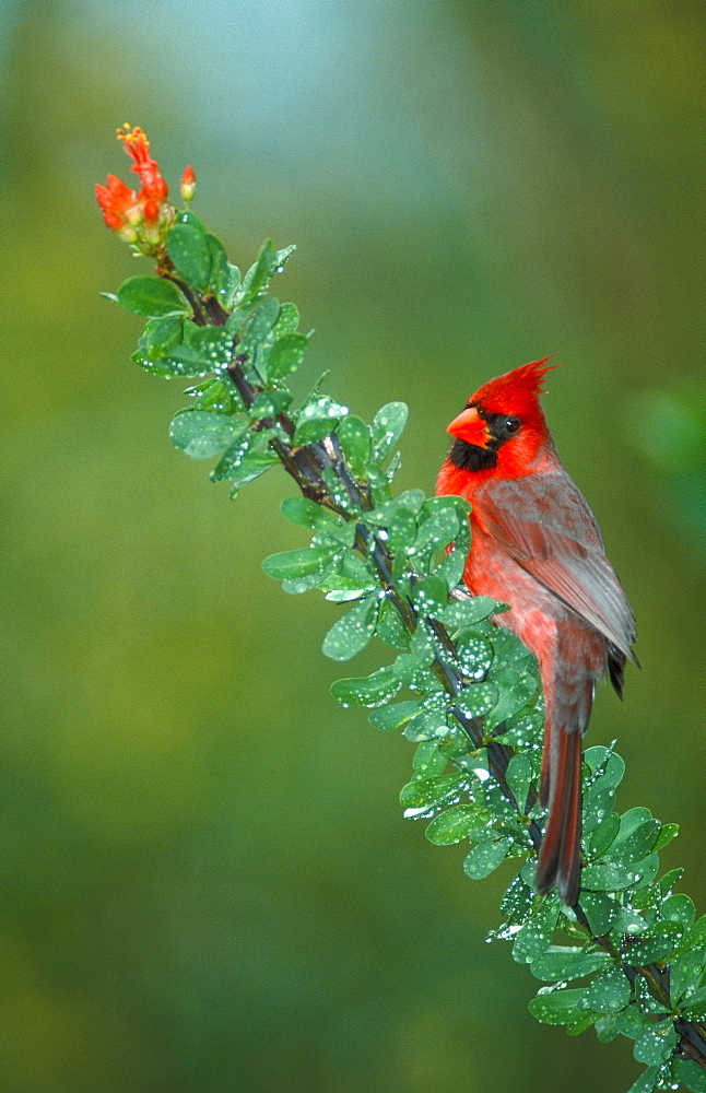Common Cardinal, male / (Cardinalis cardinalis)