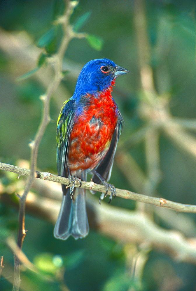 Painted Bunting, male / (Passerina ciris)