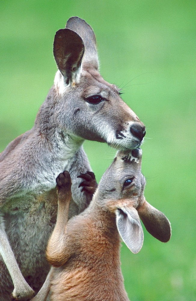 Young Red Kangaroo greeting adult / (Macropus rufus)