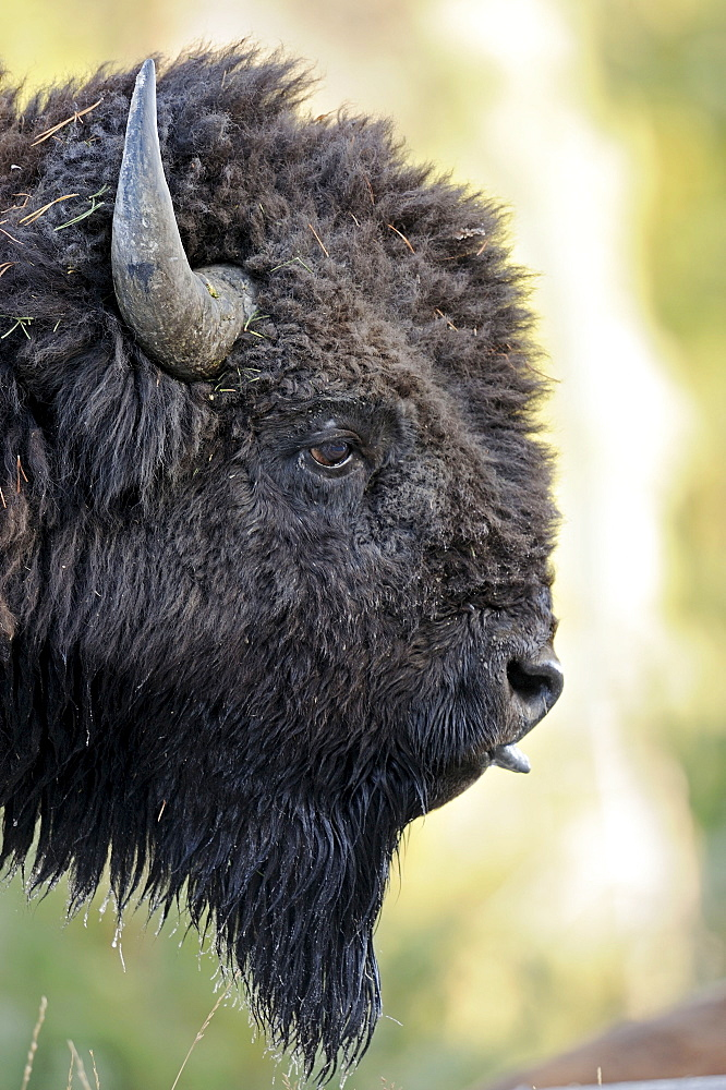 American Bison, bull, Yellowstone national park, Wyoming, USA / (Bison bison) / side, profile
