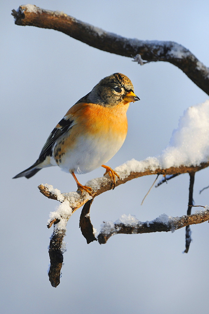 Brambling, Lower Saxony, Germany / (Fringilla montifringilla)