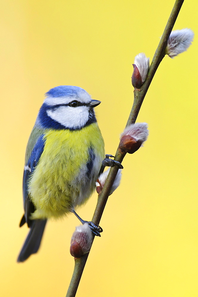 Blue Tit, Lower Saxony, Germany / (Cyanistes caeruleu)