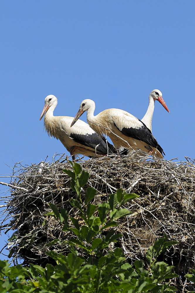 White Stork with youngs on nest, North-Rhine Westphalia, Germany / (Ciconia ciconia)