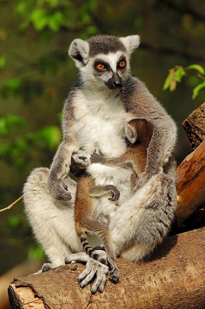 Ring-tailed Lemur, female with youngs / (Lemur catta)
