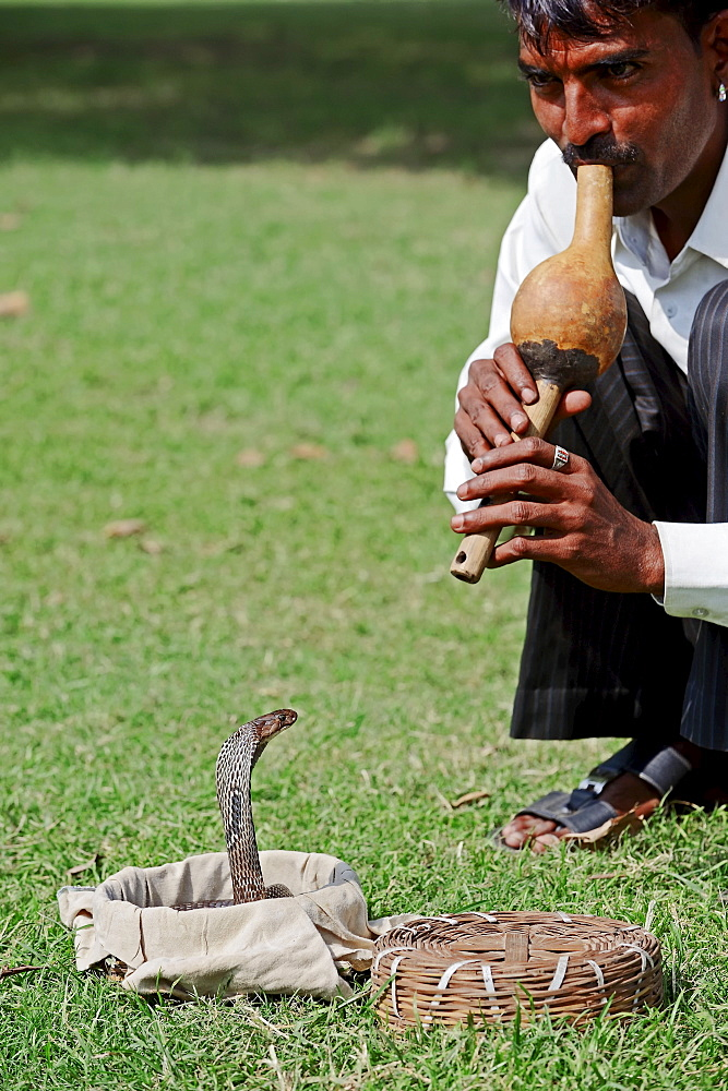 Snake charmer with Spectacled Cobra, New Delhi, India / (Naja naja) / Indian Cobra, Common Cobra, Asian Cobra, New Dehli