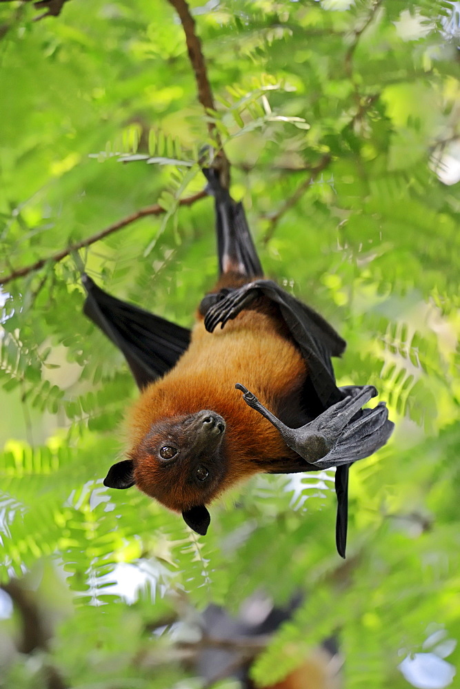Indian Flying Fox, Uttar Pradesh, India / (Pteropus giganteus)