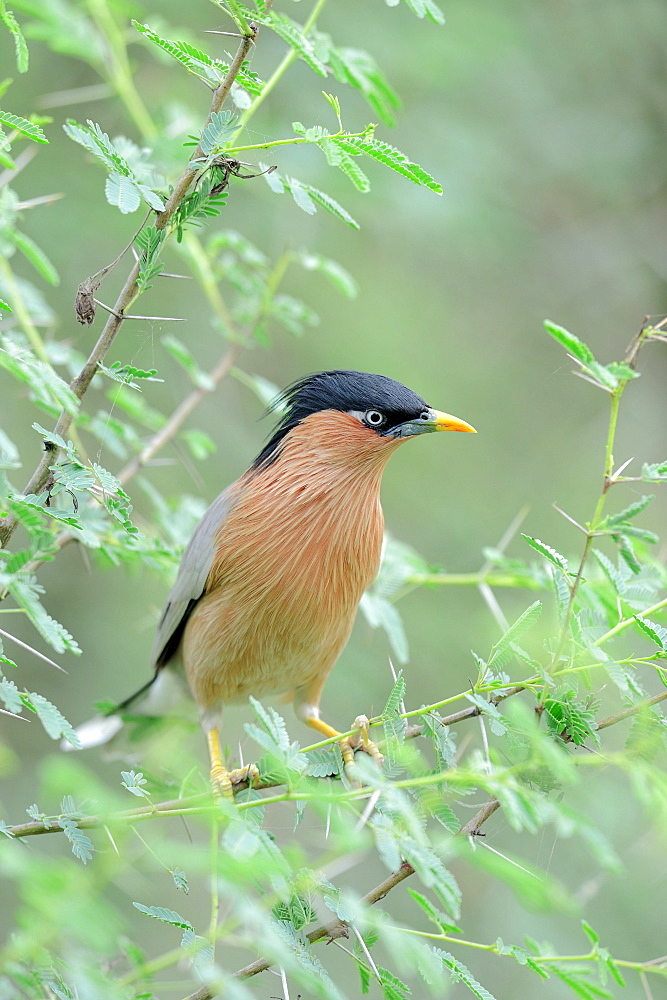 Brahminy Myna, Keoladeo Ghana national park, Rajasthan, India / (Sturnus pagodarum) / Brahminy Starling, Black-headed Starling