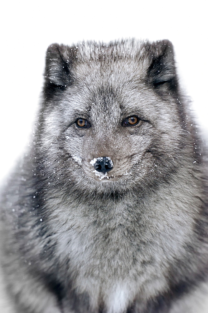 Arctic Fox in winter / (Vulpes lagopus, Alopex lagopus) / White Fox, Polar Fox, Snow Fox