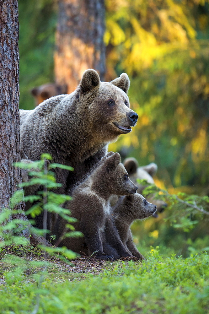 European Brown Bears, female with cubs, Finland / (Ursus arctos)