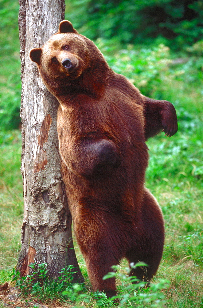 European Brown Bear shrubbing back on tree trunk / (Ursus arctos)