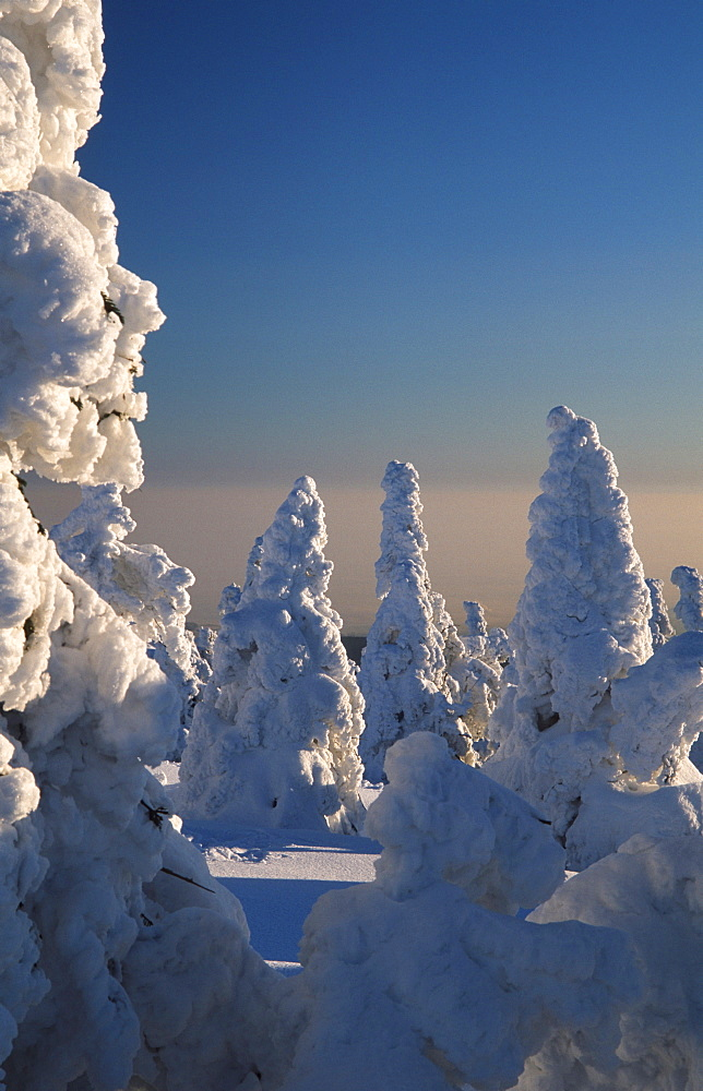 Snow-covered Norway Spruce, national park Hochharz, Brocken, Saxony-Anhalt, Germany / (Picea abies)