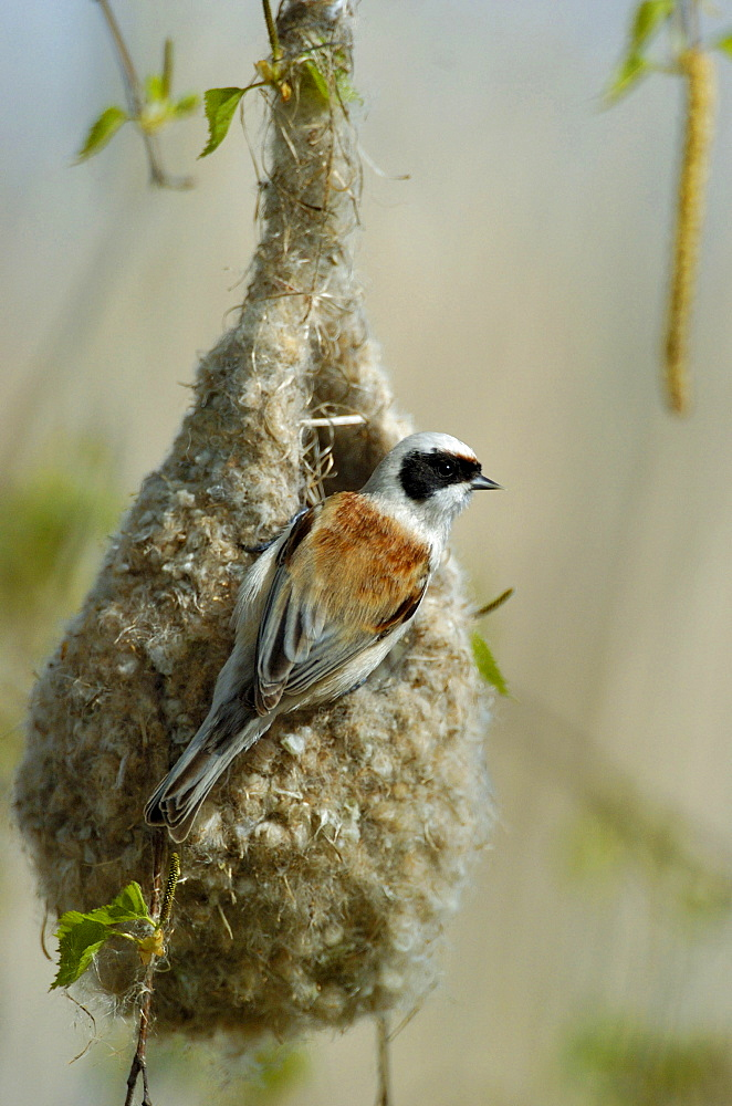 Penduline Tit at nest, Hessen, Germany / (Remiz pendulinus)