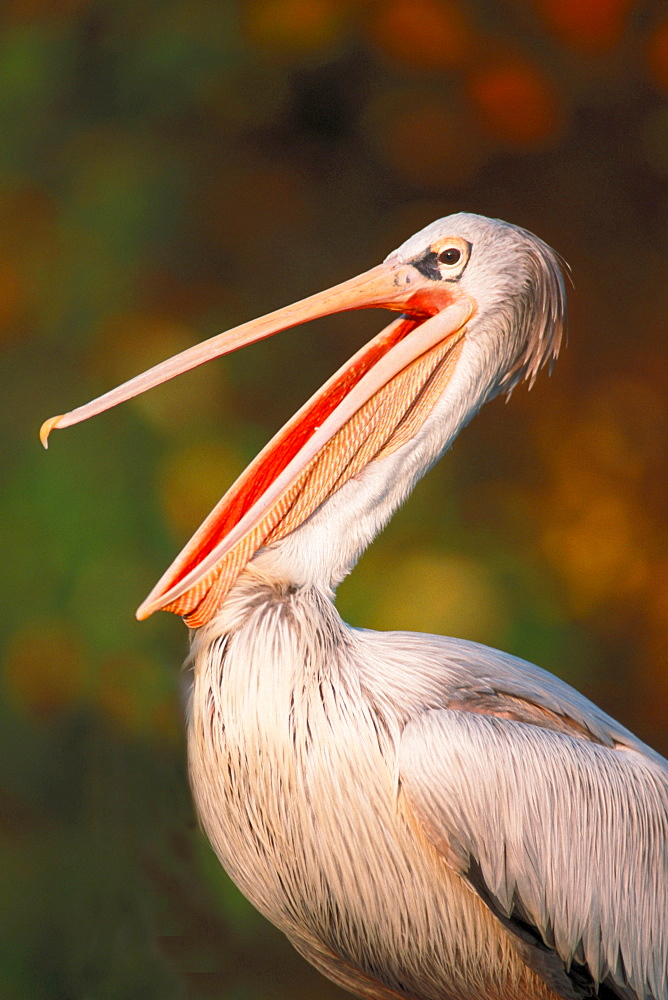 Pink-backed Pelican / (Pelecanus rufescens)