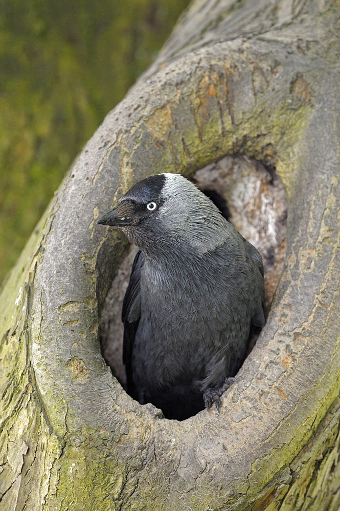 Jackdaw, Borken, Germany / (Corvus monedula)