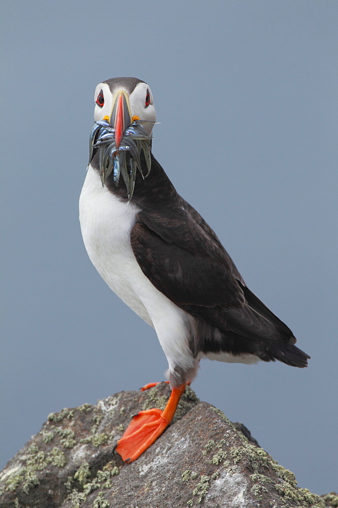 Papageitaucher, Fratercula arctica, atlantic puffin