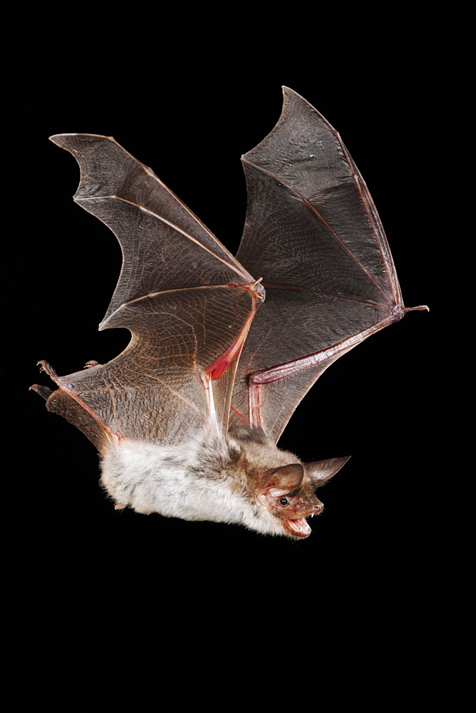 Greater Mouse-eared Bat / (Myotis myotis) / Germany