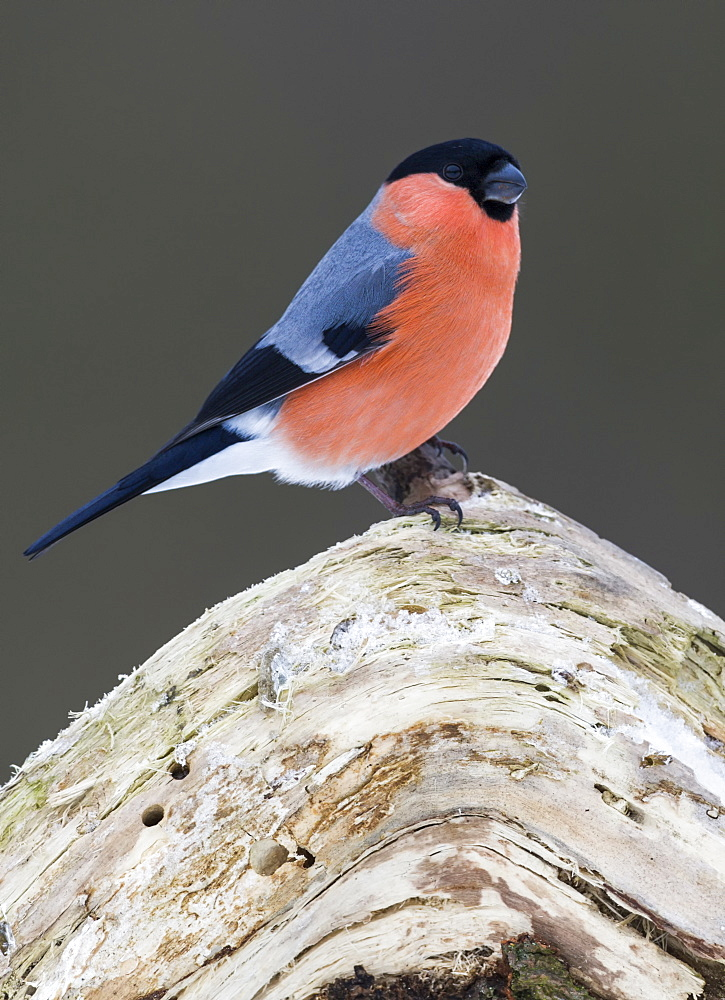 Bullfinch / (Pyrrhula pyrrhula) / male, Germany