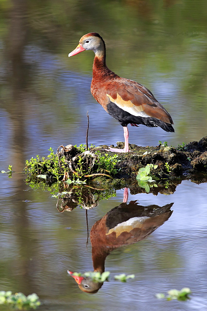 Black Bellied Whistling Duck, adult at water, Wakodahatchee Wetlands, Delray Beach, Florida, USA, North America / (Dendrocygna autumnalis)