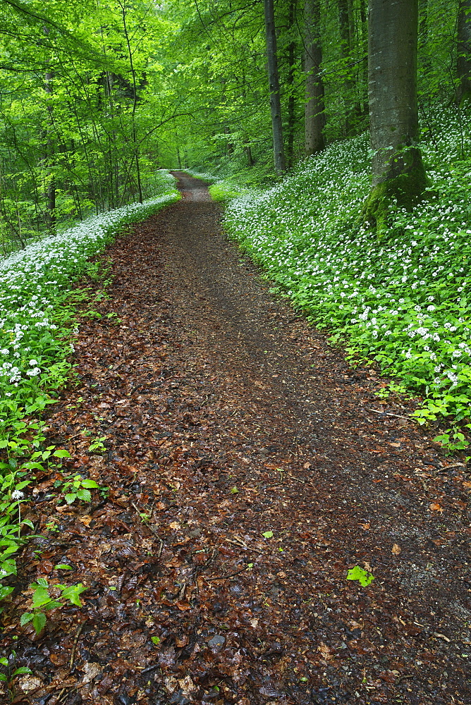 Decidous forest with blooming ramsons, Switzerland