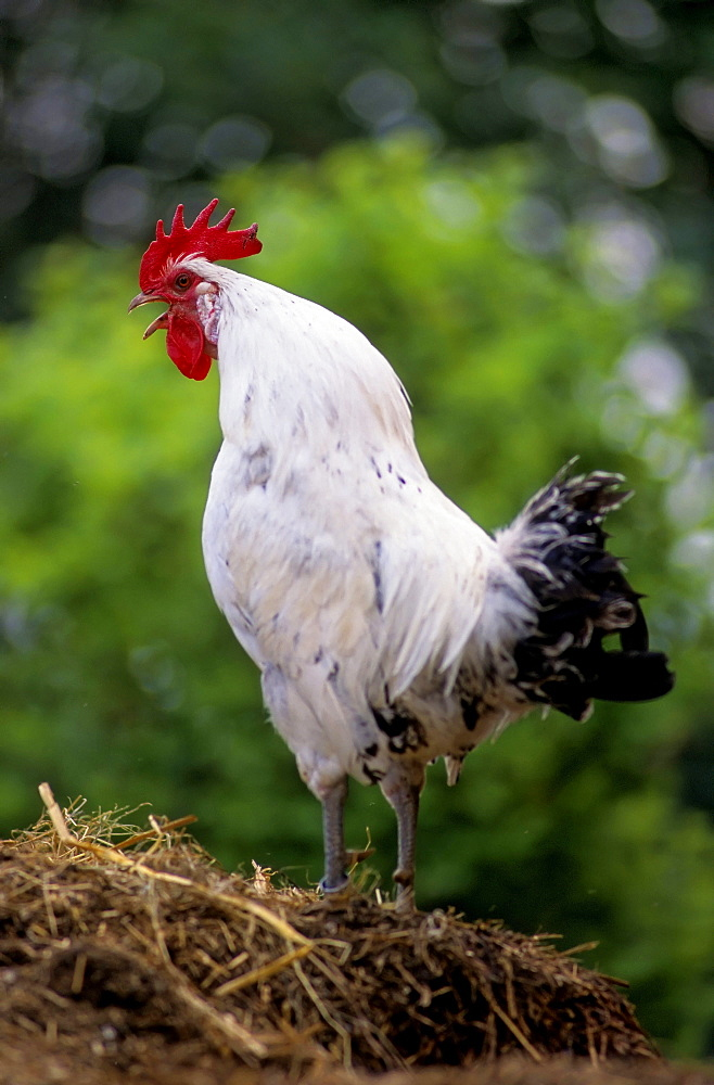 East Frisian Gull, Domestic chicken, chicken breed