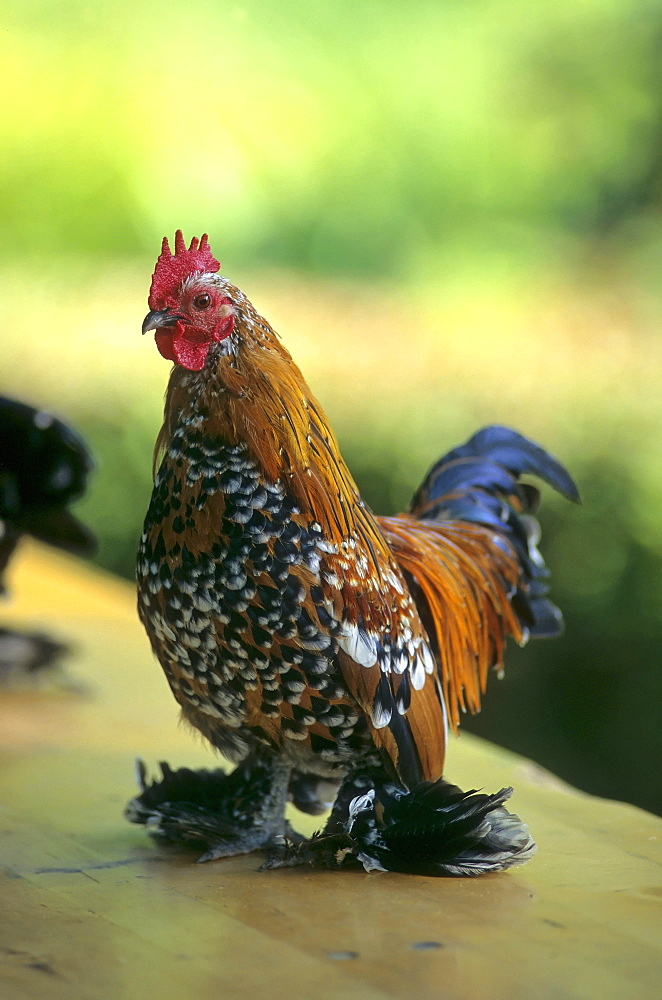 Feather-footed bantam chicken