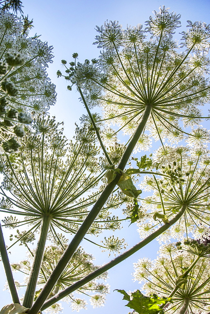 giant hogweed, cartwheel flower, giant cow parsnip, giant cow parsly / (Heracleum mantegazzianum)