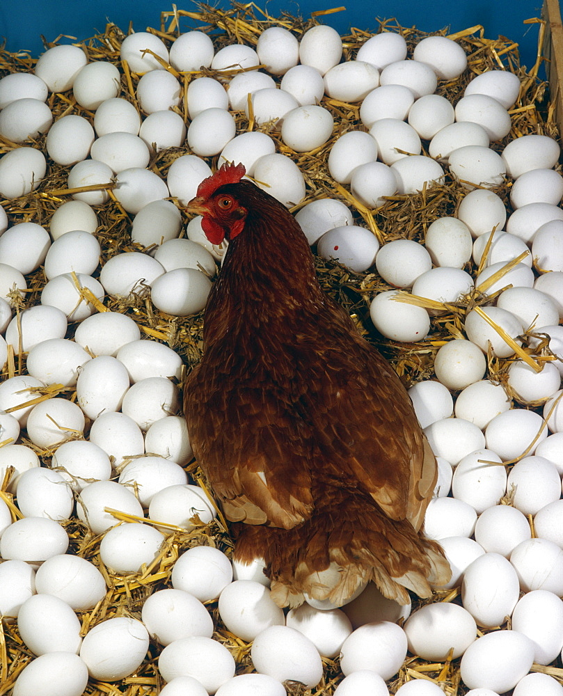 Domestic Fowl, hen with mass of eggs