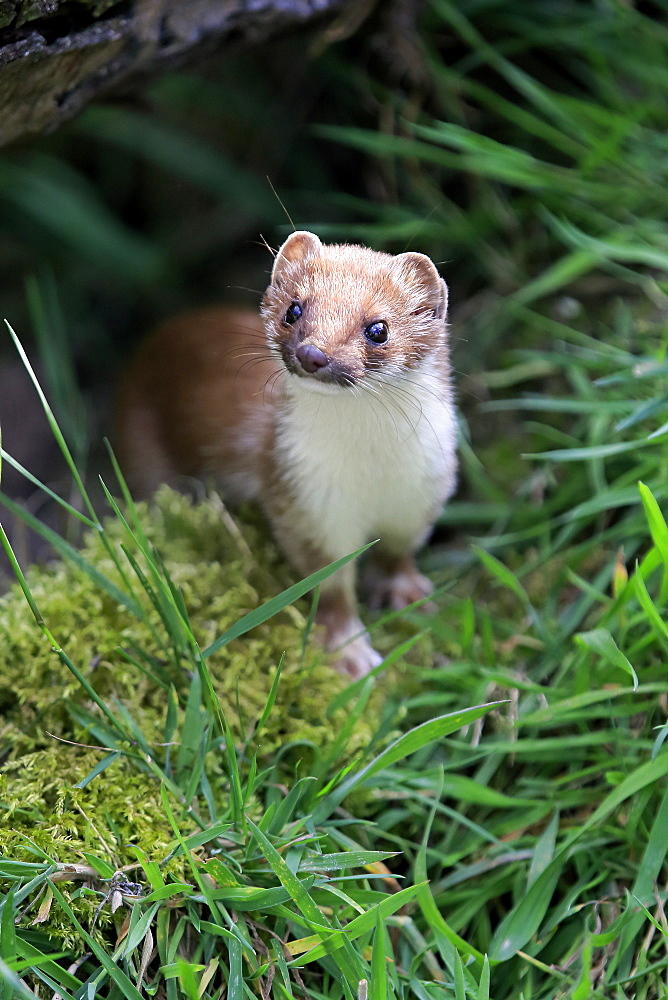 Stoat, short-tailed weasel, Surrey, England, Europe / (Mustela erminea)  - 1127-20313