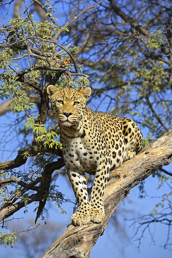 Leopard (Panthera pardus) on tree, Khomas Region, Namibia, Africa