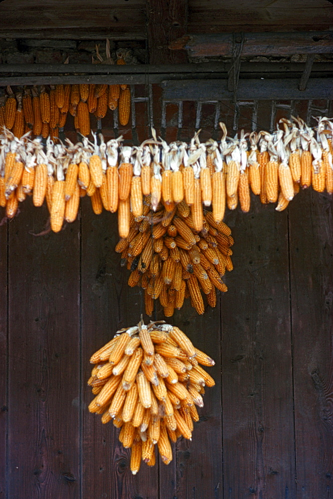 Corncobs hanging up for drying / Corn