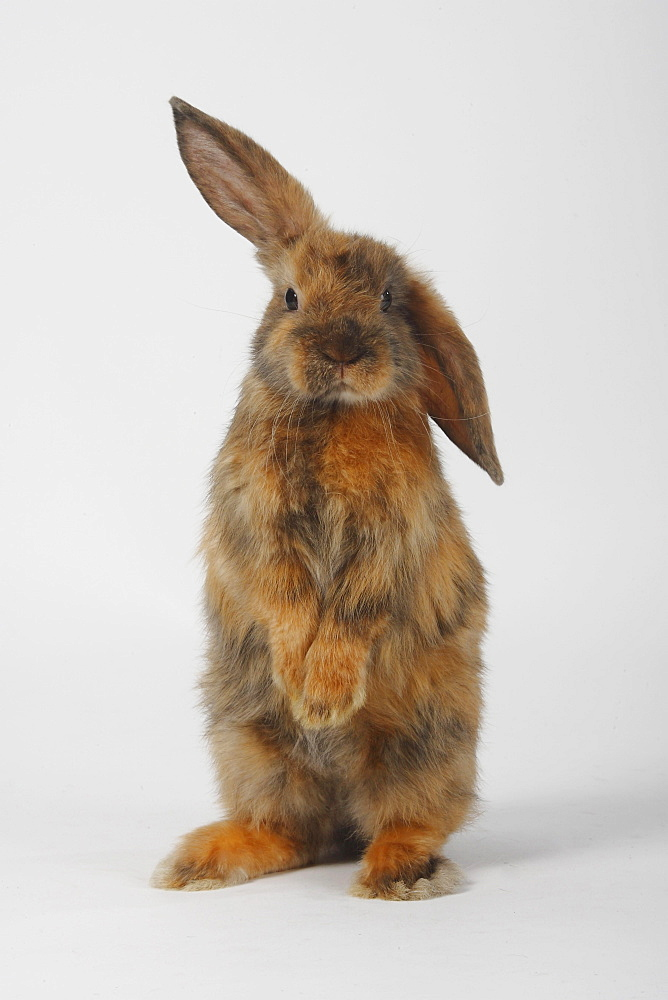 Young Satin Lop-eared Dwarf Rabbit, japanese, 8 weeks