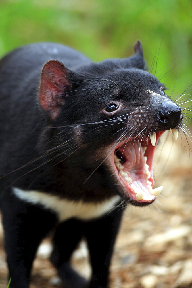 Tasmanian Devil, South Australia / (Sarcophilus harrisii) / teeth