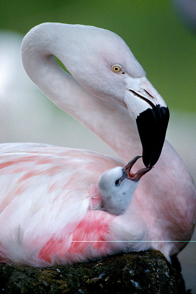 Chilean Flamingo feeding chick, 1 week old / (Phoenicopterus chilensis)