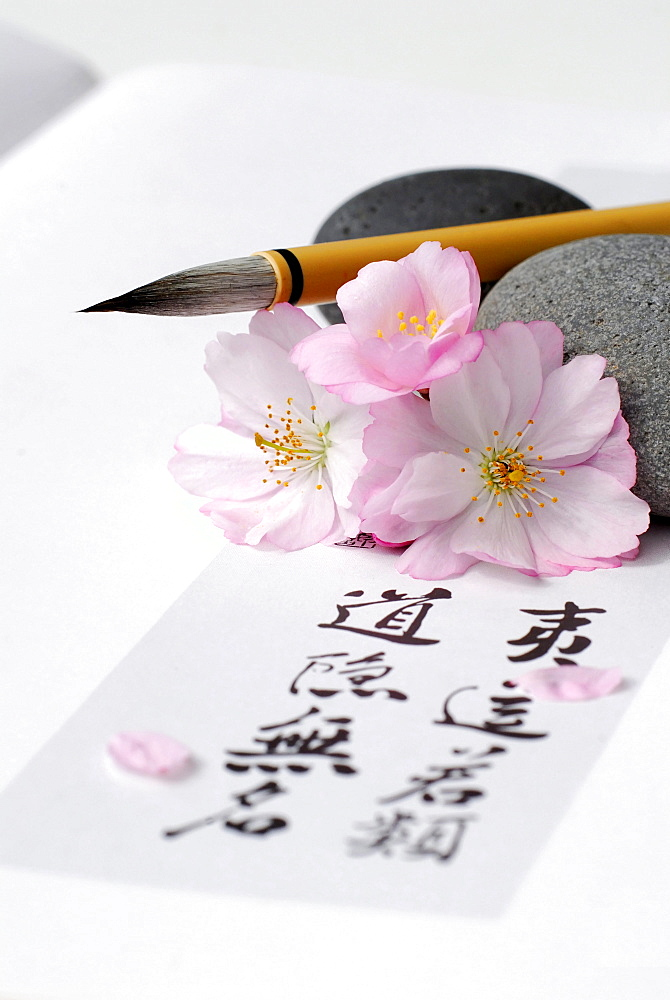 Japanese Cherry, brush and Japanese letters / (Prunus sargentii) / calligraphy