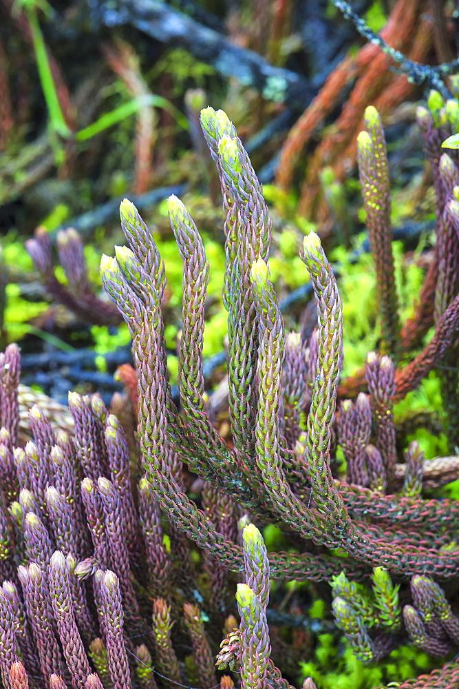 Paramo vegetation, Lycopodium, Cotopaxi National Park, Cotopaxi Province, Ecuador, South America