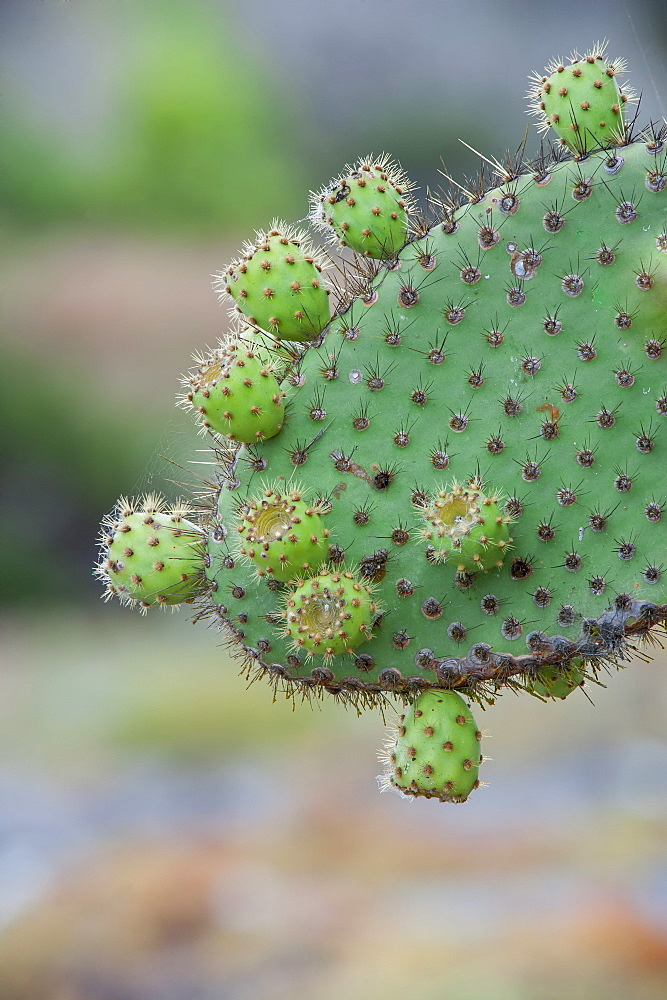 Giant Prickly Pear cactus, South Plaza Island, Galapagos, Ecuador, South America