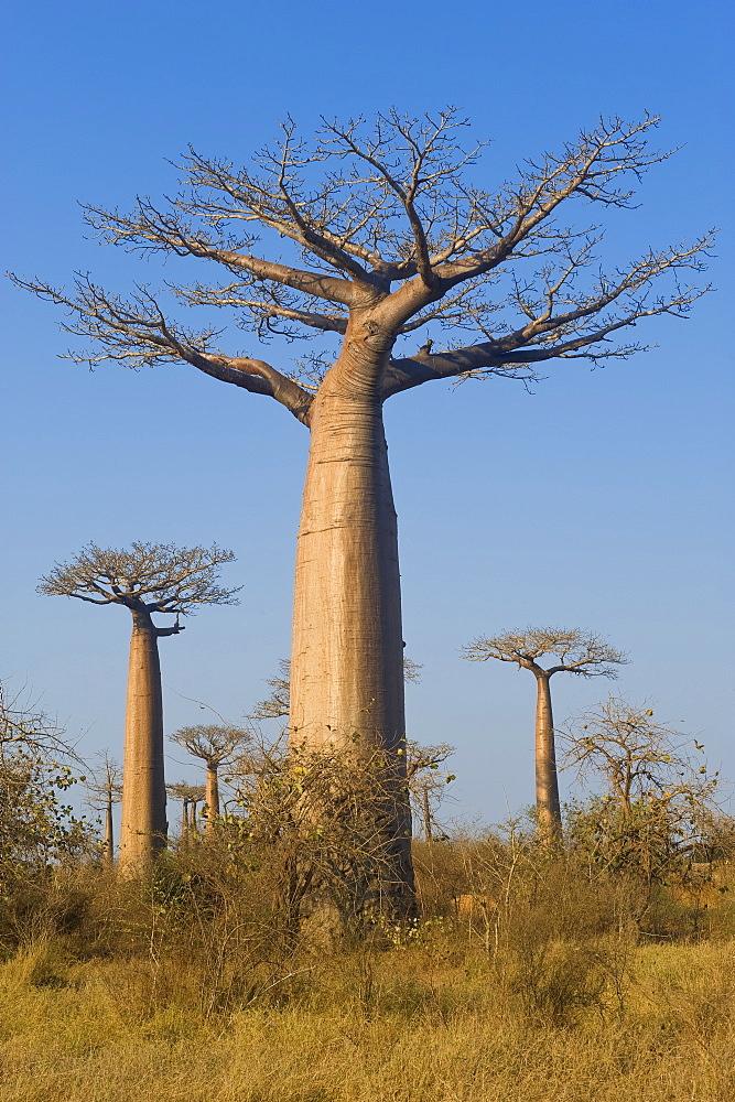 Baobabs (Adansonia Grandidieri), Morondava, Madagascar, Africa
