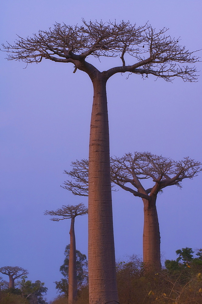 Baobabs (Adansonia Grandidieri) at sunset, Morondava, Madagascar, Africa