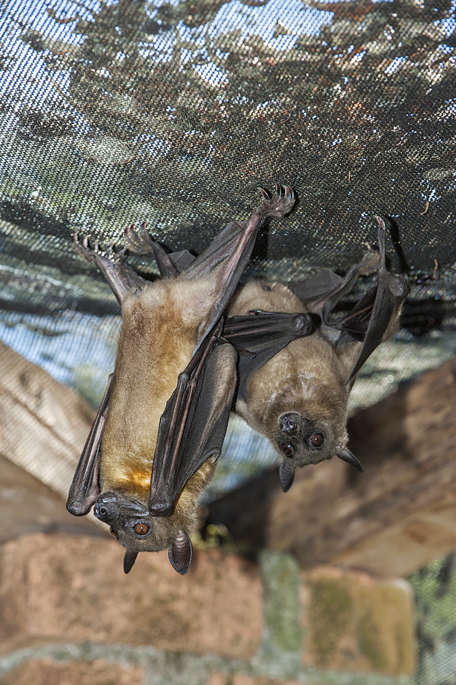 Madagascar Flying Fox (Madagascar Fruit Bat) (Pteropus rufus) hanging in a barn, Madagascar, Africa