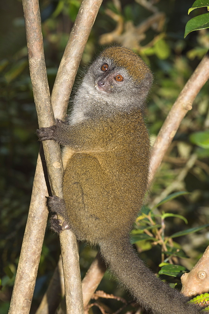 Eastern Lesser Bamboo Lemur (Hapalemur griseus), Andasibe-Mantadia National Park, Madagascar, Africa