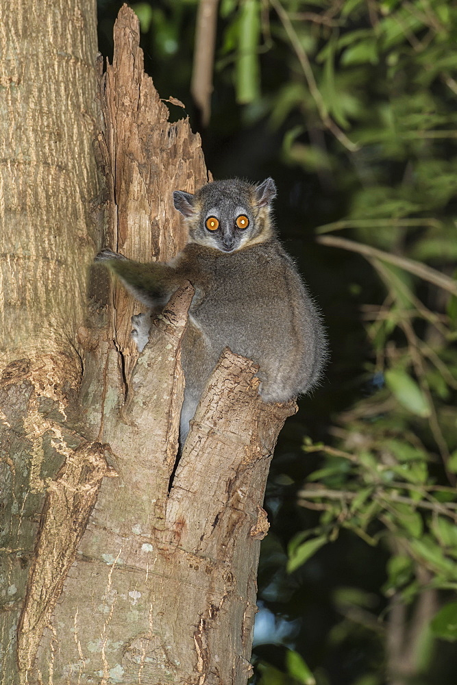 White-footed Sportive Lemur (Lepilemur leucopus), Berenty Nature Reserve, Fort Dauphin, Toliara Province, Madagascar, Africa