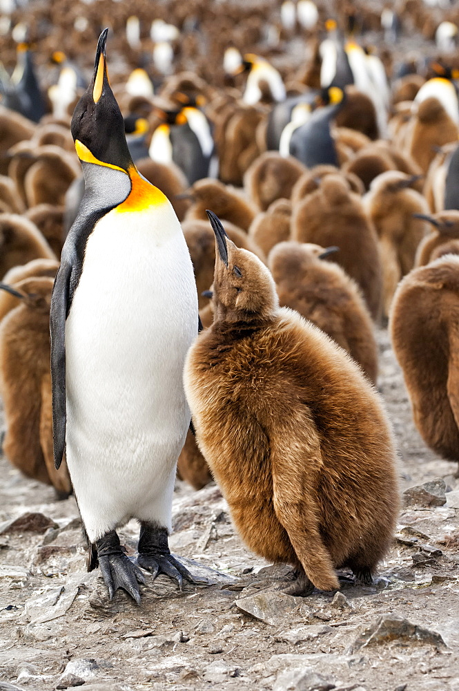 King penguin feeding a chick (Aptenodytes patagonicus), St. Andrews Bay, South Georgia Island, Polar Regions