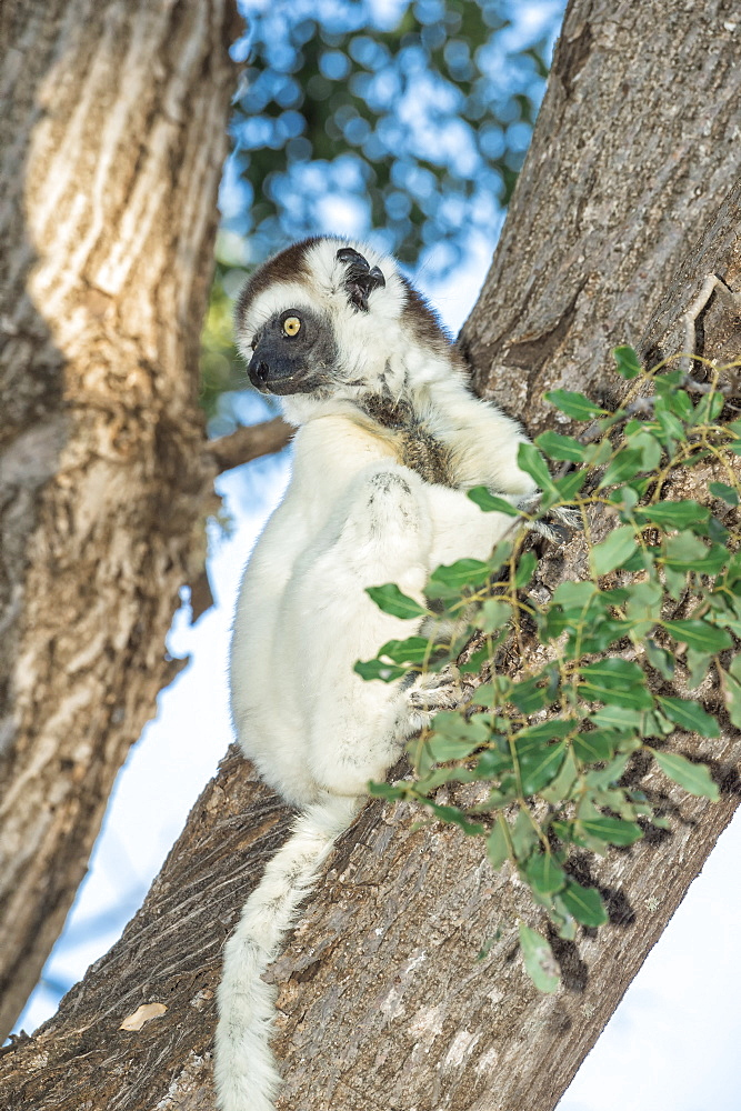 Verreaux's sifaka (Propithecus verreauxi) on a tree, Berenty Nature Reserve, Fort Dauphin, Toliara Province, Madagascar, Africa
